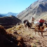 Mules carrying the kit to basecamp