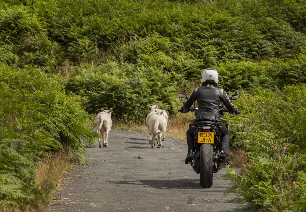 Nothing quite says you've arrived in Wales like a backcountry lane with a sheep-jam on it!